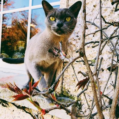 Kittens For Sale - Lea Burmese Cats