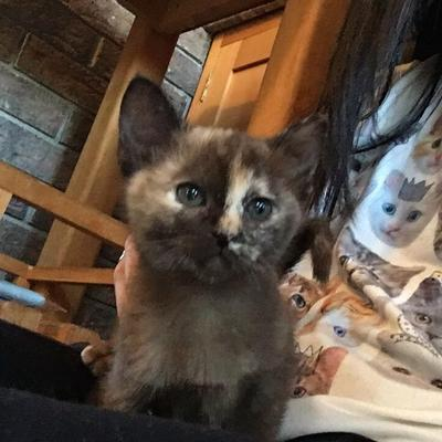 Kittens For Sale - Lea Burmese Cats